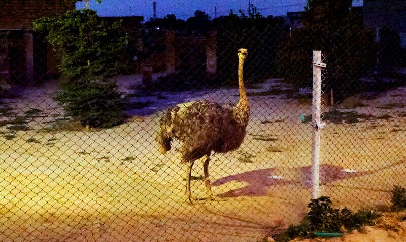 Ostrich Enclosure
